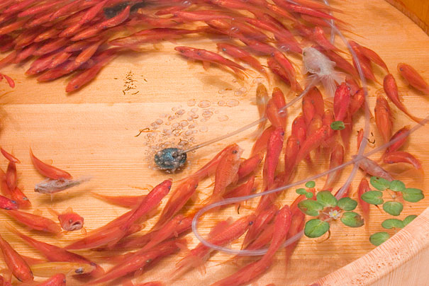 Breathtaking 3D Goldfish Paintings by R. Fukahori | Bored Panda