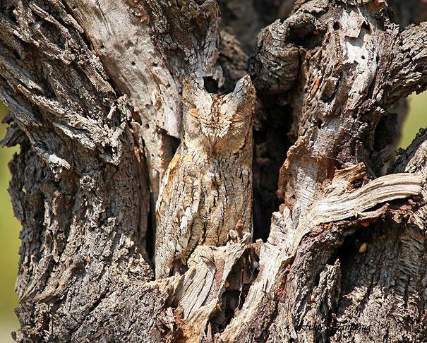 20 Amazing Examples of Owl Camouflage