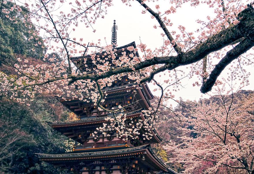 blooming-sakura-trees-2