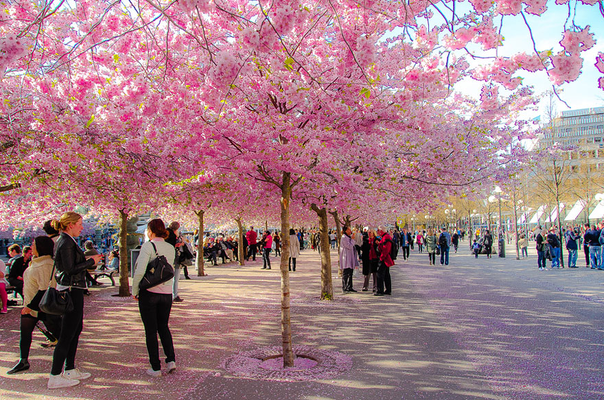 blooming-sakura-trees-3