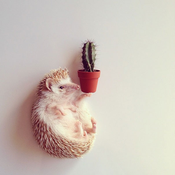 Meet Darcy, The Most Famous (Flying) Hedgehog On Instagram
