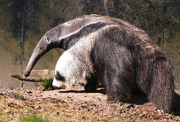 Giant Anteater's Legs Look Like Pandas