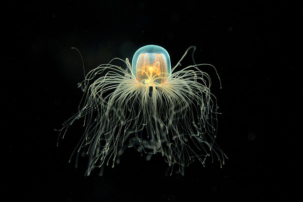 immortal jellyfish How old is the oldest immortal jellyfish you might want to know how old the oldest immortal jellyfish is, but unfortunately there is no answer to this no turritopsis dohrnii has been observed in a laboratory for an extended period of time, and there is no other way to establish the age of an individual.