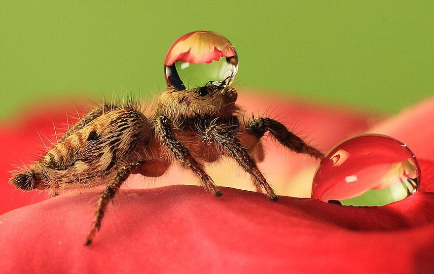 Jumping Spiders Wearing Water Drops as Fancy Hats