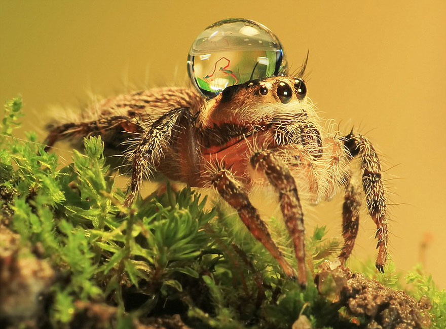 Jumping spider water hat - photo#5