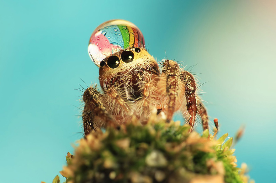 jumping spiders wearing water drops as fancy hats bored