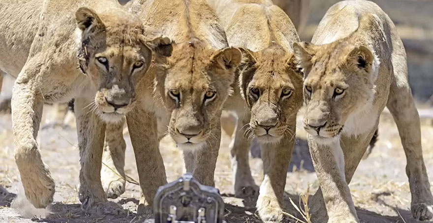 Photographer Puts Camera On Radio-Controlled Buggy To Take Close-Up Photos Of Lions In Botswana [VIDEO]