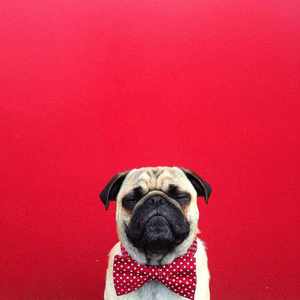 norm-the-pug-23