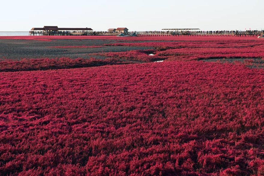 panjin-red-beach-china-6
