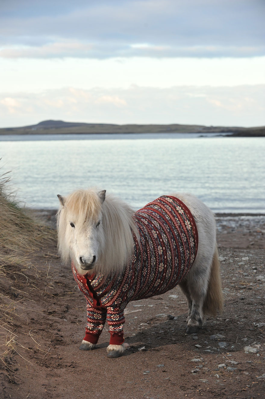 Lovely Shetland Ponies Dressed in Sweaters to Promote Scotland