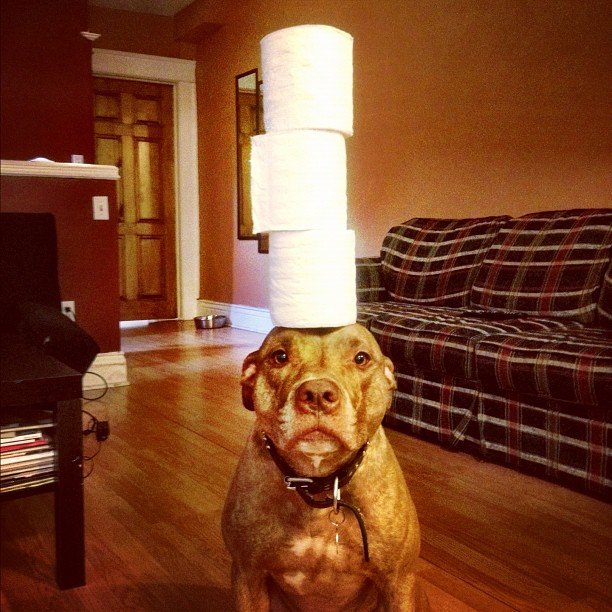 Meet Scout The Worlds Most Patient Dog Who Can Balance Anything - Owners balances objects on dogs head