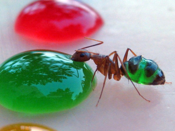 Translucent Ants Eating Colored Liquids