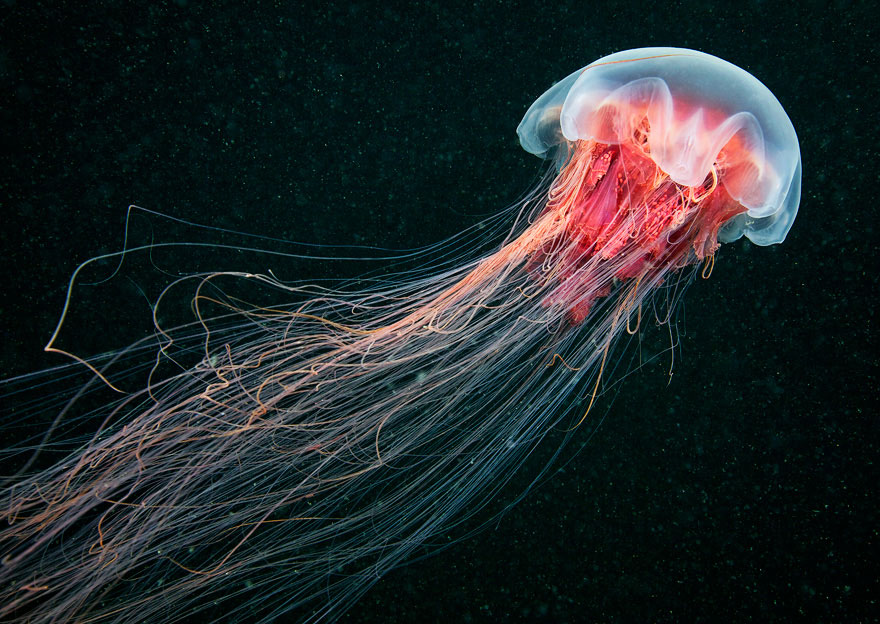 Amazing Jellyfish Photos by Alexander Semenov