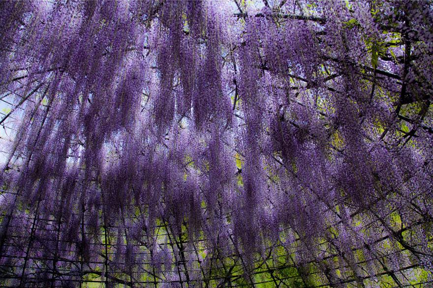 Drelis Gardens Surreal Wisteria Flower Tunnel In Japan