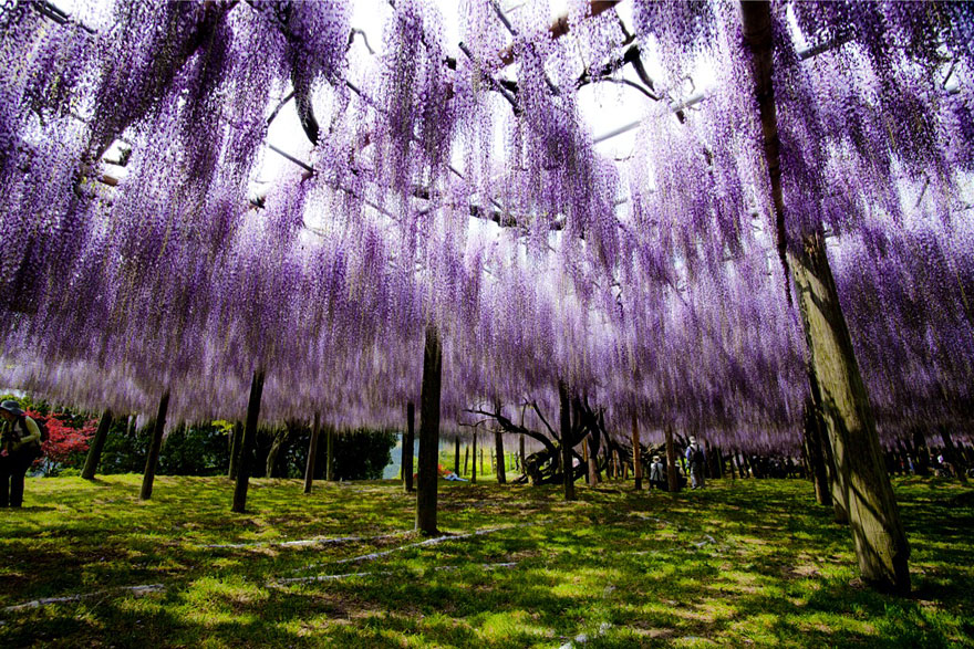 Surreal Wisteria Flower Tunnel In Japan Bored Panda