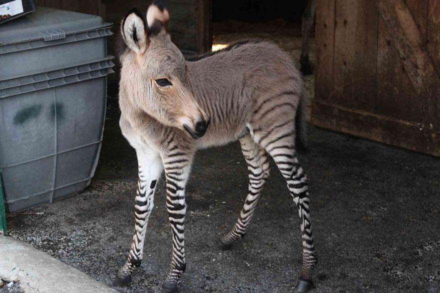 Meet Ippo, The Adorable Zonkey Who is Half Zebra, Half Donkey