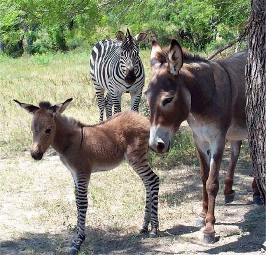Meet Ippo, The Adorable Zonkey Who is Half Zebra, Half ...